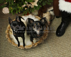 two good dogs awaiting gifts from santa in basket on floor under tree