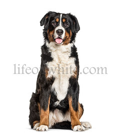 Bernese Mountain Dog, isolated on white