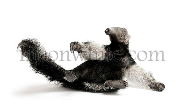 Young Giant Anteater, Myrmecophaga tridactyla, 3 months old, sitting in front of white background, studio shot