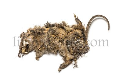 Dry dead rat in state of decomposition, isolated on white