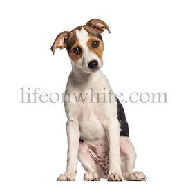 Smooth Fox Terrier, 3 months old, sitting in front of white background