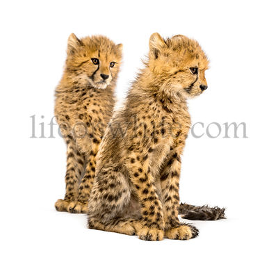 Couple of three months old cheetah cubs, isolated on white