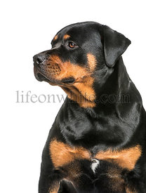 Rottweiler, 1 year old, sitting in front of white background