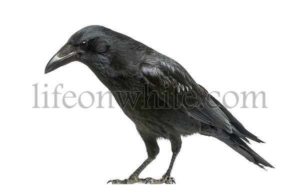 Carrion Crow looking down, Corvus corone, isolated on white