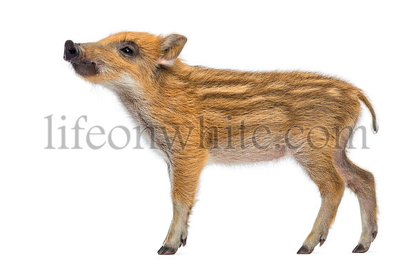 Wild boar, Sus scrofa, also known as wild pig, 2 months old, standing and looking up, isolated on white
