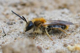 Closeup of a male of the  Orange tailed mining bee Andrena haemorrhoa