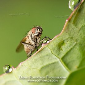 Image - Fly on leaf edge, Diptera