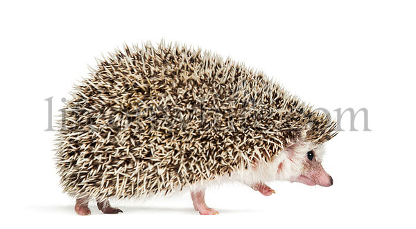 walking away European Hedgehog in front of white background