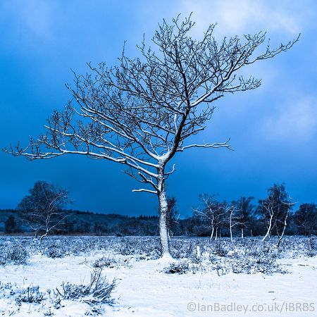 Lone tree in snow with dark blue sky.