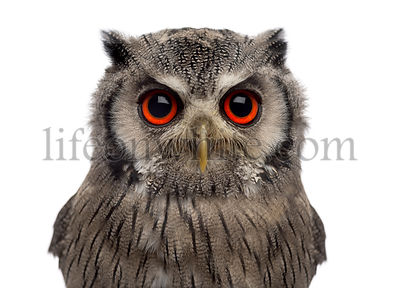 Close-up of a Northern white-faced owl - Ptilopsis leucotis (1 year old) in front of a white background