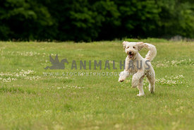 A cream colored poodle mix running in a grass field