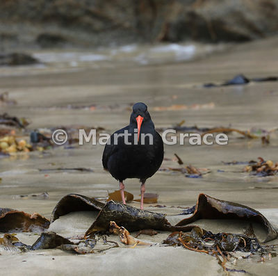 Dark morph Variable Oystercatcher (Black Oystercatcher) (Haematopus unicolor) with kelp on Butterfield Beach, Stewart Island,...