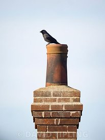 Jackdaw, Corvus monedula, on chimney pot nest site, Cley, Norfolk, spring