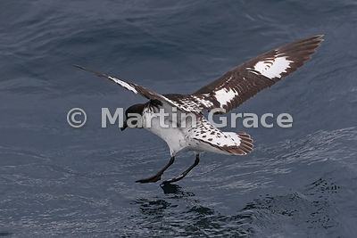 Cape Petrel (Daption capense) about to land on the water, Kaikoura, Canterbury, South Island, New Zealand