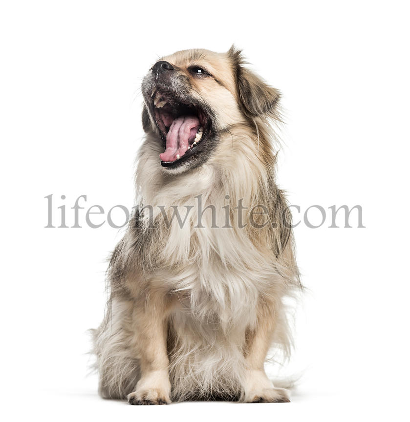 Tibetan Spaniel, 6 years old, sitting in front of white background