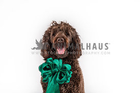 head shot of smiling large chocolate doodle wearing big green bow