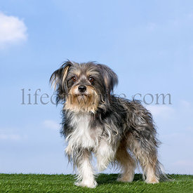 Mixed-Breed Dog with a yorkshire (8 years old)