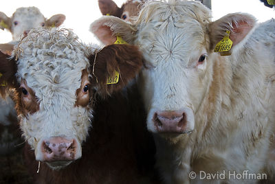 Calves in a shed on a farm on Halstow Marshes, Kent 2006 Calves in a shed on a farm on Halstow Marshes, Kent 2006.
