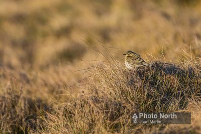 PIPIT 00B - Meadow pipit