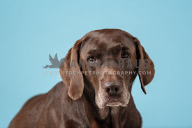 close up studio shot of older chocolate lab with blue background