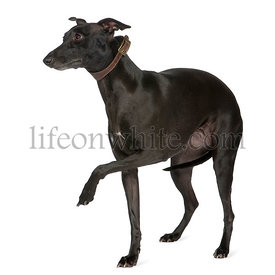 Italian Greyhound  (2 years)
