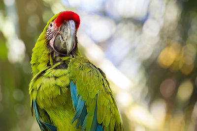 Portrait of a great green macaw (Ara ambiguus) against a blurred background in Zoo Ave in central Costa Rica.