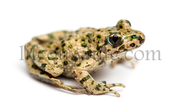 Side view of a Common parsley frog, Pelodytes punctatus, isolated on white