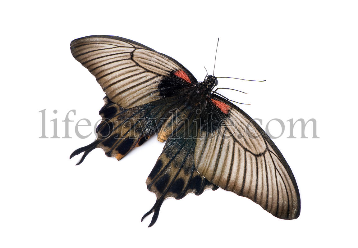 Papilio lowii butterfly