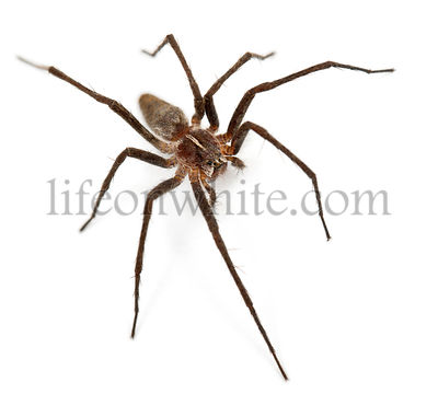 Nursery web spider, Pisaura mirabillis, in front of white background