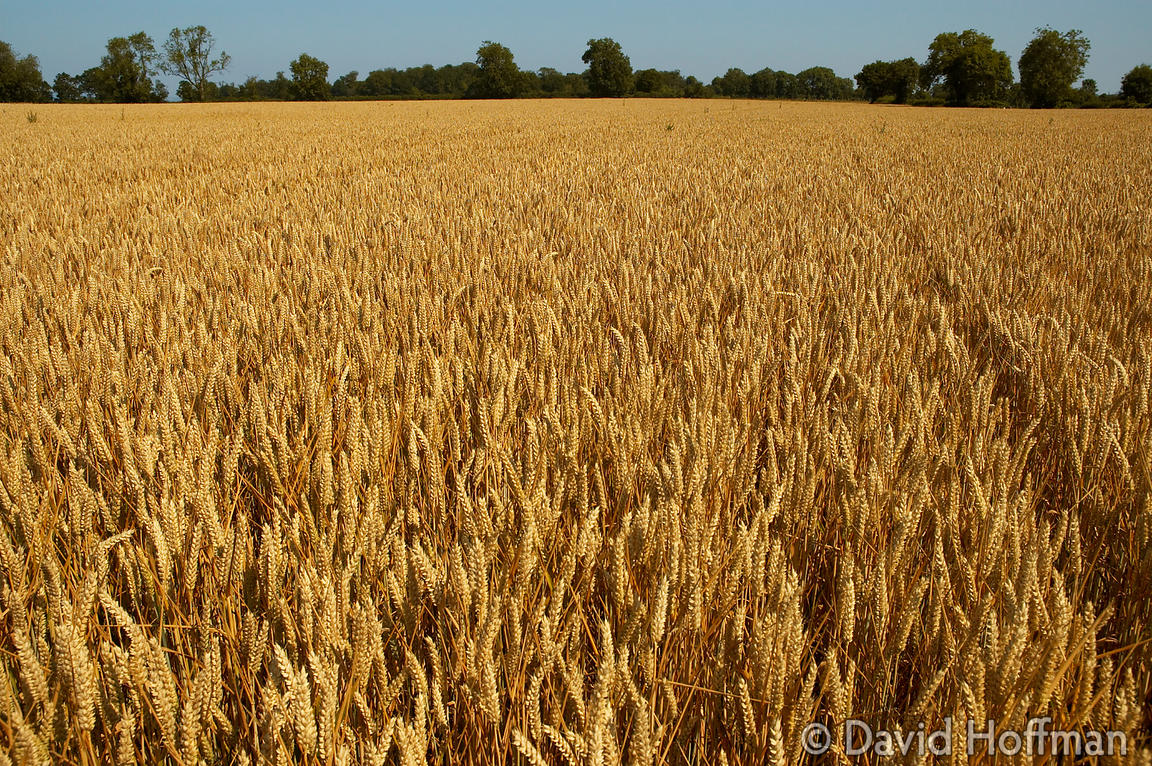 Wheat growing on farmland in Kent.