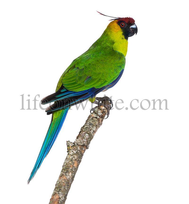 Side view of a Horned Parakeet perched on a branch, Eunymphicus cornutus, isolated on white