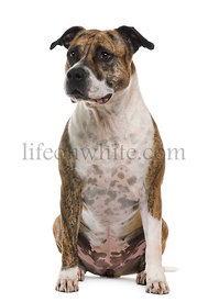 American Staffordshire terrier, 6 years old, sitting in front of white background