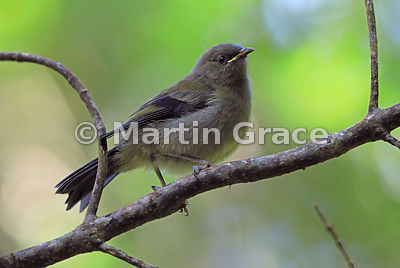 Juvenile Bellbird (Anthornis melanura), Zealandia, Wellington, North Island, New Zealand