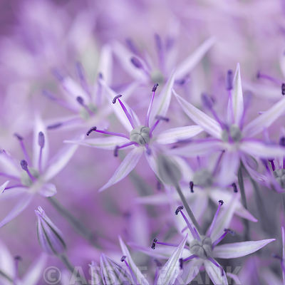 Allium flowers close-up