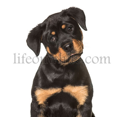 Rottweiler puppy , 3 months old, sitting against white background