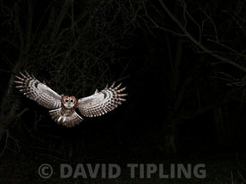 Tawny Owl Strix aluco hunting at night North Norfolk