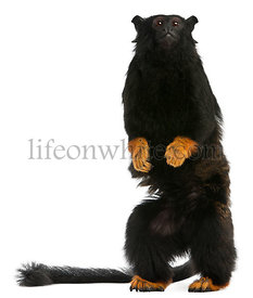 Red-handed Tamarin, Saguinus midas, 6 years old, in front of white background