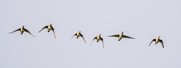 Wigeons flight