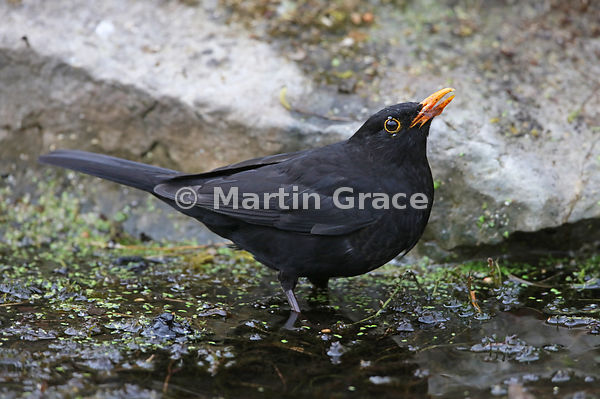 Male Common Blackbird (Turdus merula) drinking from the garden pond, Lake District National Park, Cumbria, England