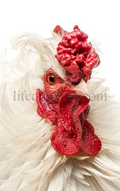 Close up of a curly feathered rooster, isolated on white