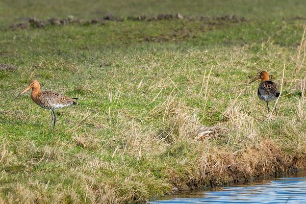 Two godwits and hare on it's form