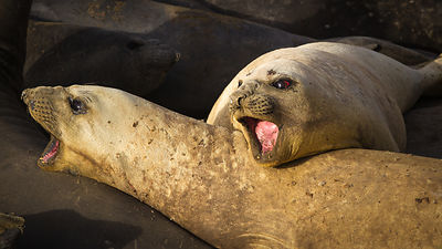 Elephant seals just before the molting period where they lose their brownish old fur and have it replaced by a dark grey new ...