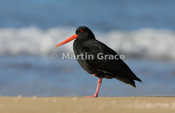 Dark morph Variable Oystercatcher (Black Oystercatcher) (Haematopus unicolor) standing on one leg, Otama Beach, Coromandel Pe...