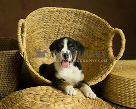 Black and white puppy smiling at camera while laying in wicker basket pile with paws forward and tongue out