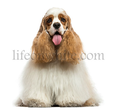 Front view of an American Cocker Spaniel, panting, sitting, isolated on white