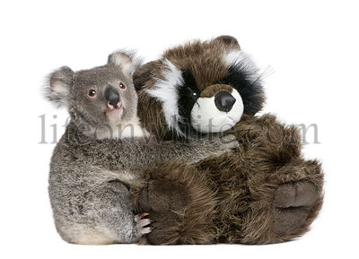 Portrait of male Koala bear hugging teddy bear, Phascolarctos cinereus, 9 months old, in front of white background
