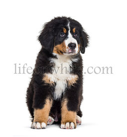 Bernese Mountain Dog, 3 months old, sitting in front of white background