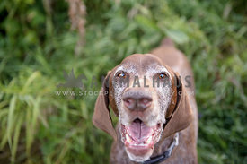 Senior dog smiling at camera