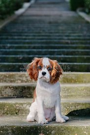 A young spaniel puppy sitting at the bottom of a long flight of cement stairs