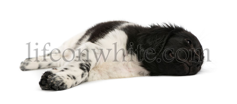 Stabyhoun puppy lying down, resting, isolated on white